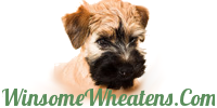 Winsome Wheatens & Bouviers Des Flandres